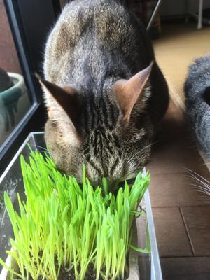 猫草-2.jpg